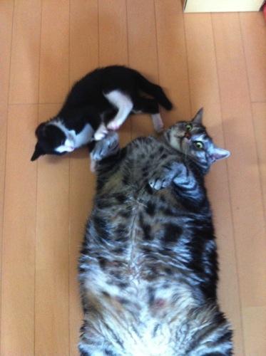 太い猫の画像